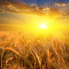 Depositphotos 12709786-stock-photo-wheat-field-in-a-rays.jpg
