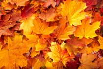 Depositphotos 3916630-stock-photo-background-group-autumn-orange-leaves.jpg